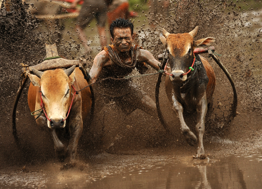 Indonesian's Take Part In Traditional Cow Race