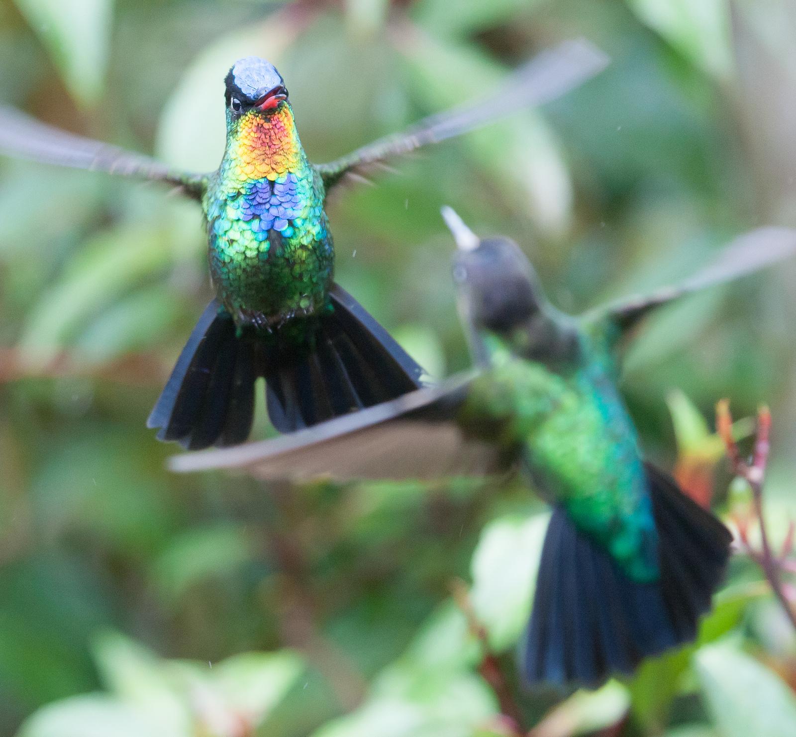 hummingbirds-chris-morgan-01