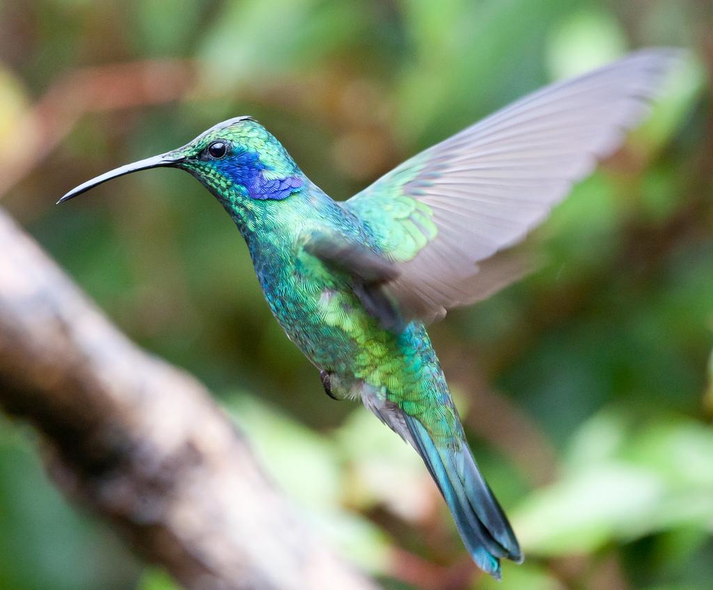 Green Violetear - Colibri thalassinus