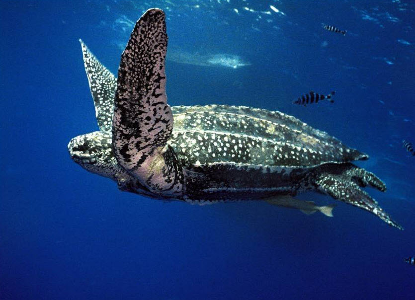 leatherback-turtle-mouth-02