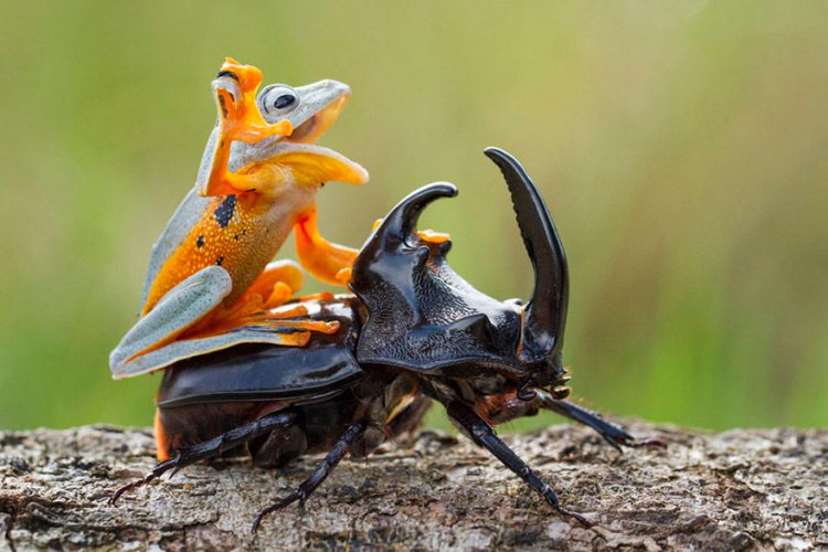 Frog-Riding-Beetle-hendy_mp_01