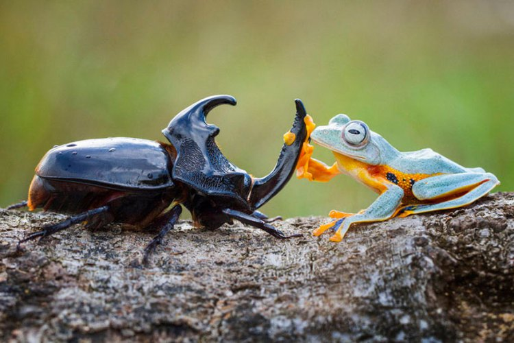 Frog-Riding-Beetle-hendy_mp_02