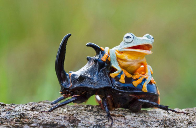 Frog-Riding-Beetle-hendy_mp_03