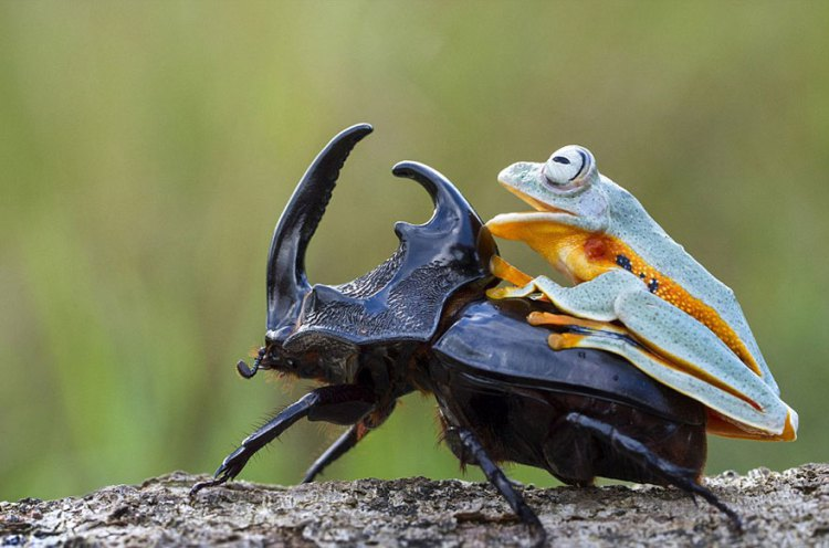 Frog-Riding-Beetle-hendy_mp_04