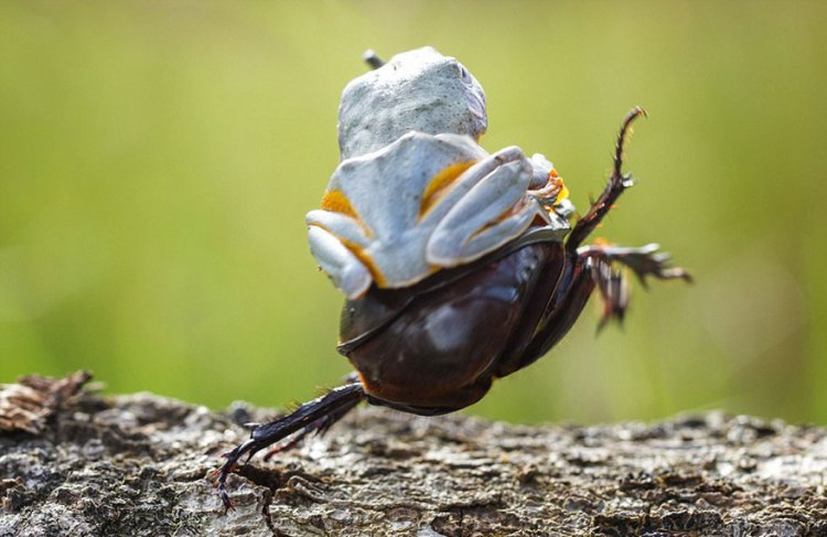 Frog-Riding-Beetle-hendy_mp_05