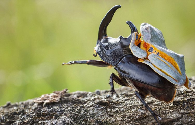 Frog-Riding-Beetle-hendy_mp_06