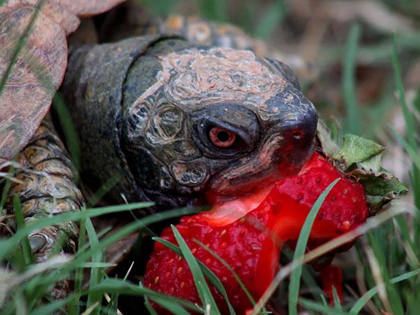animals-eating-berries-04