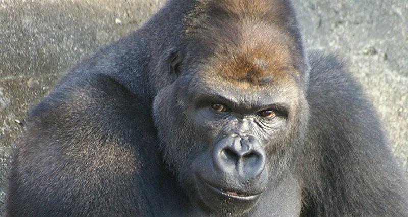 shabani_gorilla_Higashiyama_zoo