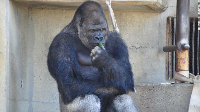 shabani_gorilla_Higashiyama_zoo_01