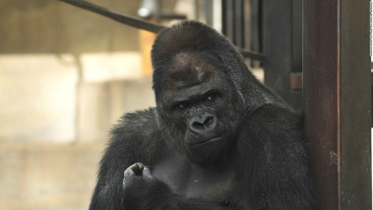 shabani_gorilla_Higashiyama_zoo_02