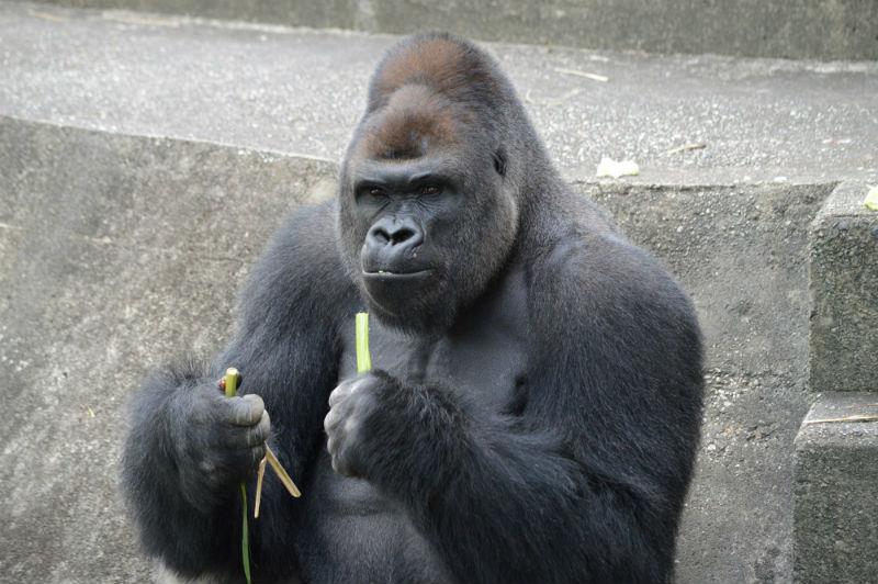 shabani_gorilla_Higashiyama_zoo_03