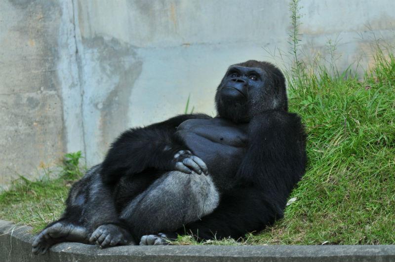 shabani_gorilla_Higashiyama_zoo_04
