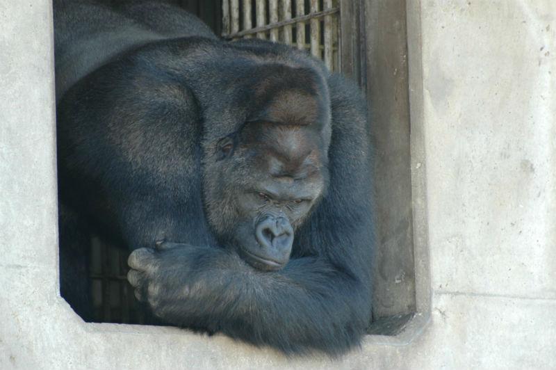 shabani_gorilla_Higashiyama_zoo_05
