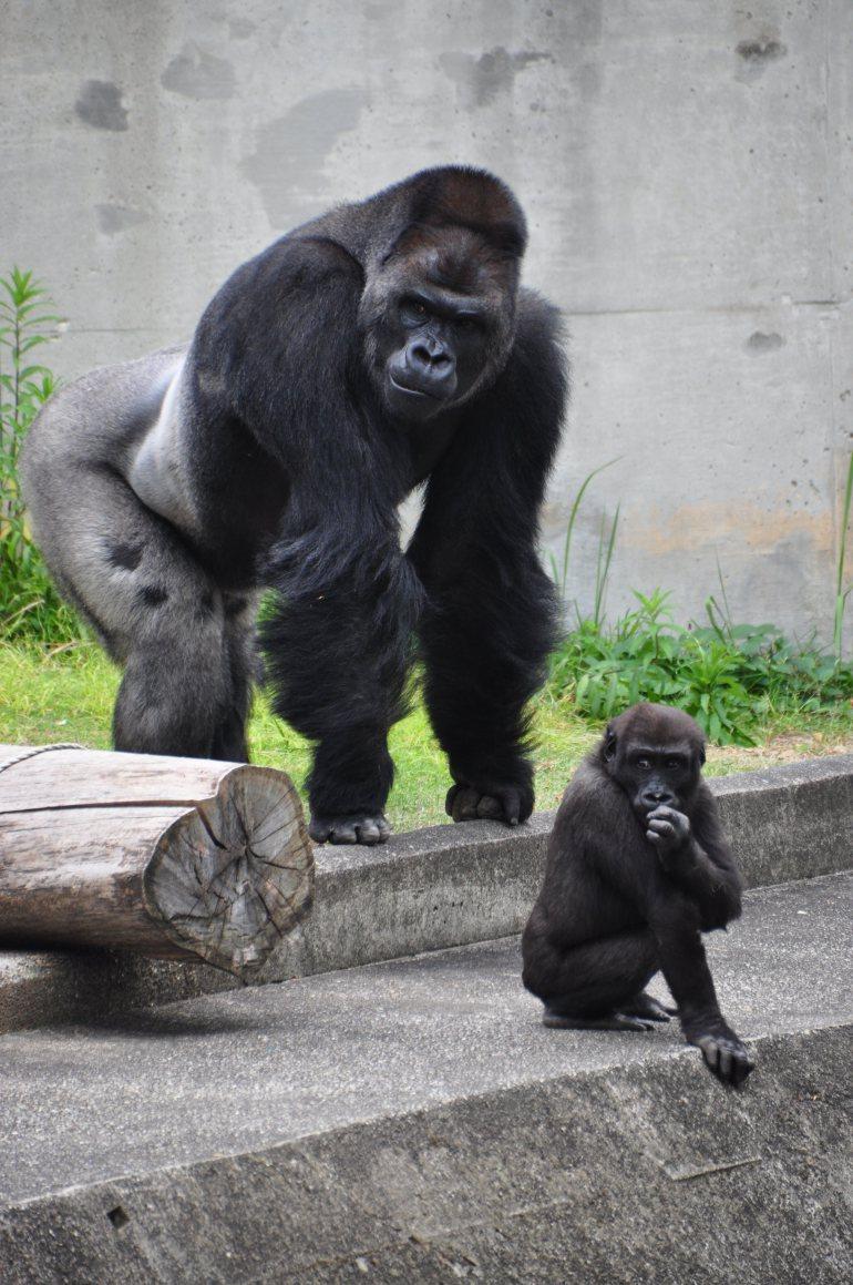 Shabani gorilla