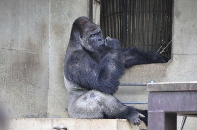 shabani_gorilla_Higashiyama_zoo_08