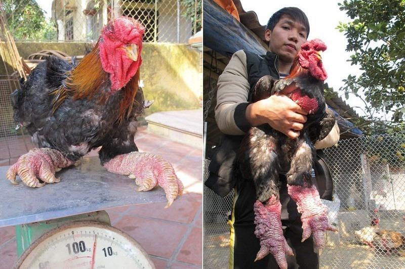 dong-tao-chicken-04