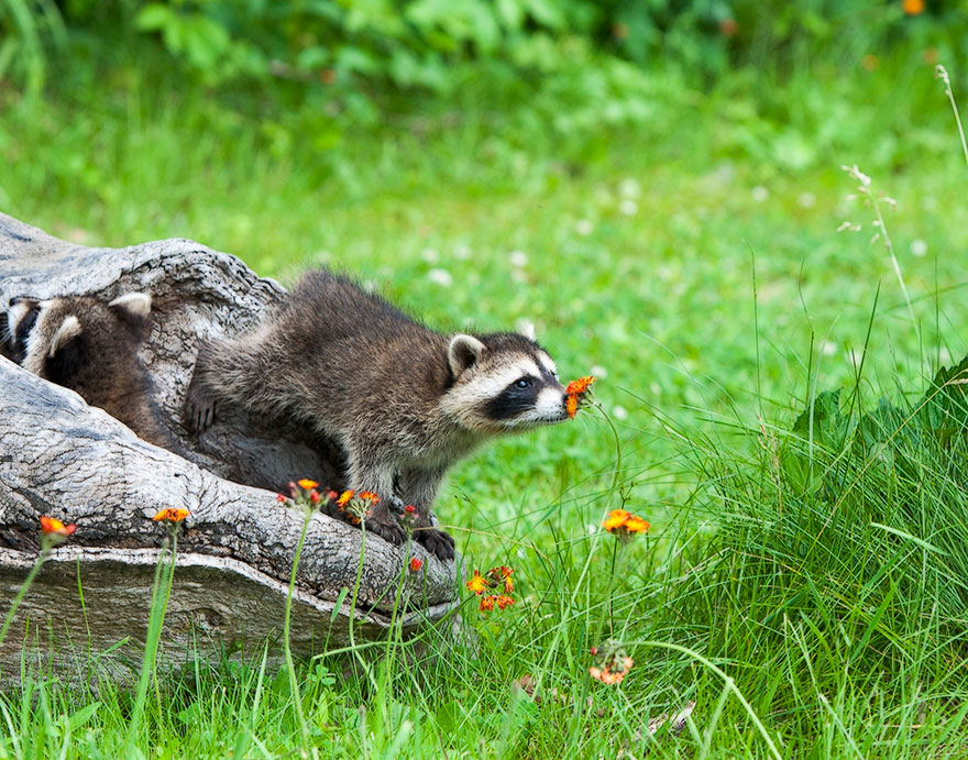 animals-smelling-flowers-05