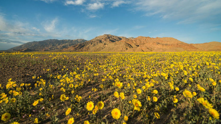 death_valley_superbloom_comes_alive_2016_02