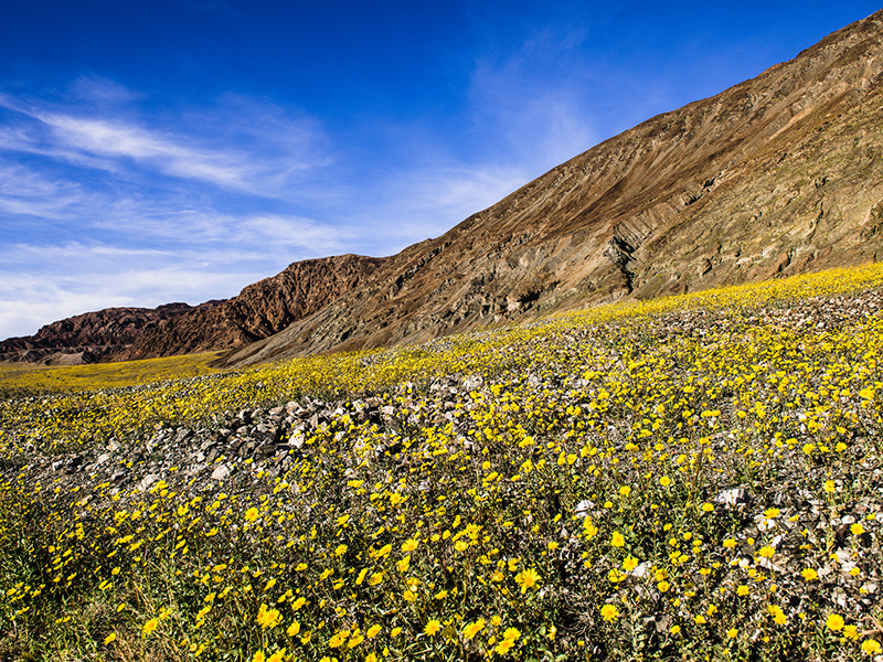 death_valley_superbloom_comes_alive_2016_05