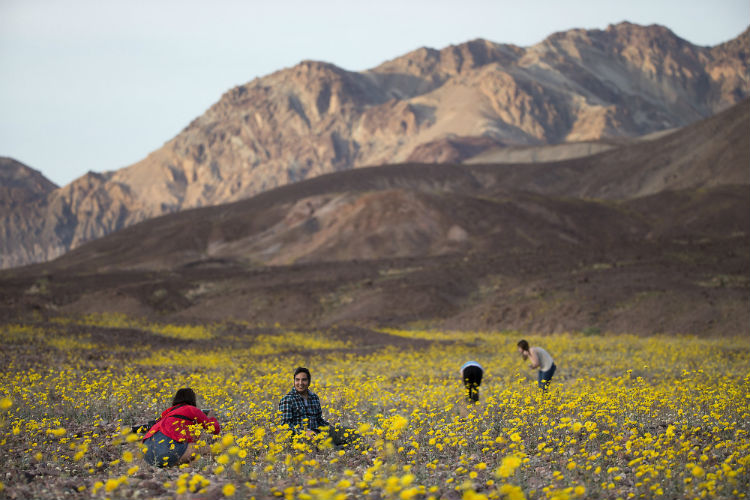 death_valley_superbloom_comes_alive_2016_7